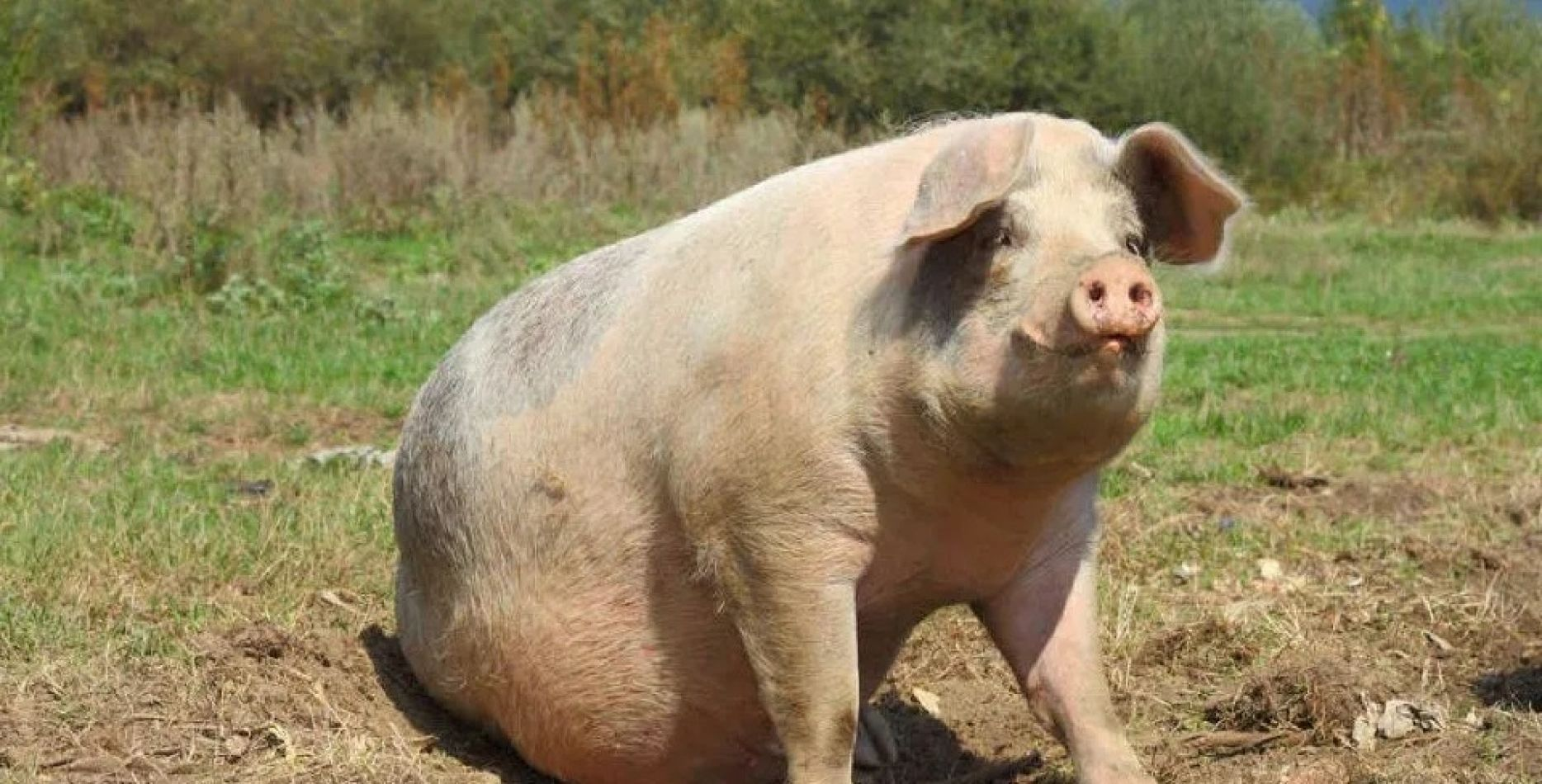 """China cría cerdos gigantes como """"osos polares"""" por la escasez de carne"""