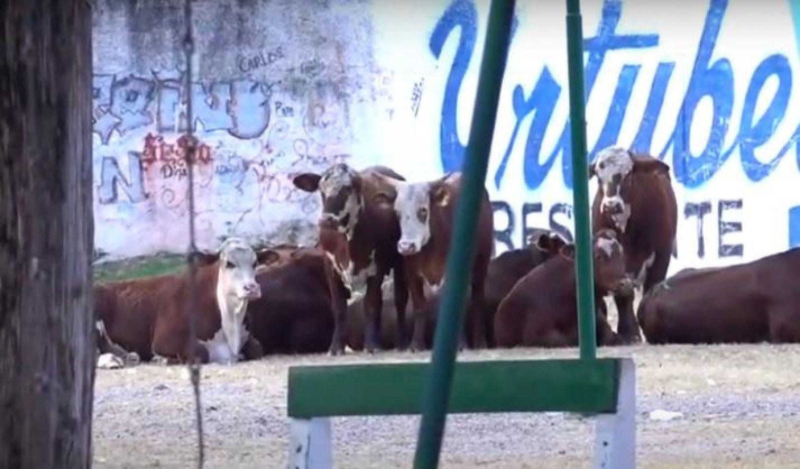 """Unas vacas escaparon de un frigorífico y """"pasearon"""" por un barrio de Salta Capital"""